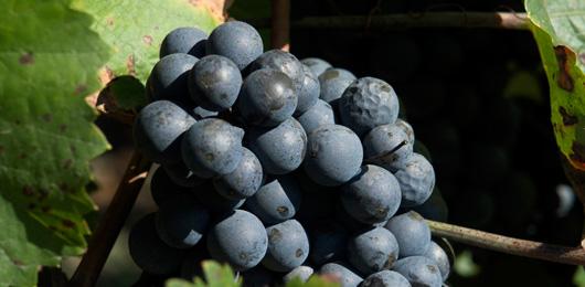 D'où viennent les vins «suisses» que nous buvons?
