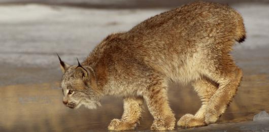 Le lynx et la Suisse: félin pour l'autre - «Le plus impressionnant, c'est qu'il n'a pas peur de l'homme»