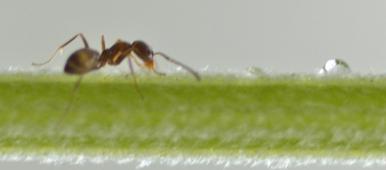 Les fourmis utilisent des «médicaments» encore inconnus des humains. Vont-elles nous aider?