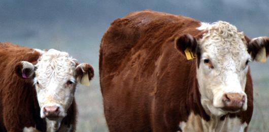 Ah la vache! Elle a presque autant de gènes que nous