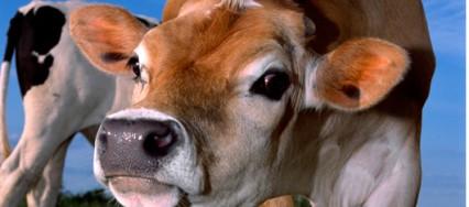 L'homme a changé la vache, et la vache a changé l'homme - interview avec J. Hauser, prof. honoraire de l'UNIL