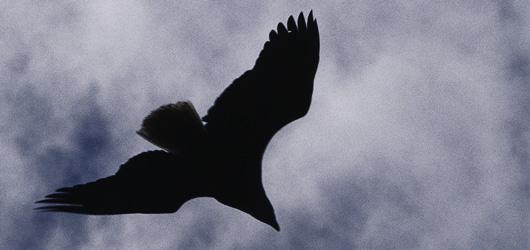 Avec un œil d'aigle, vous pouvez voir des rapaces en ville