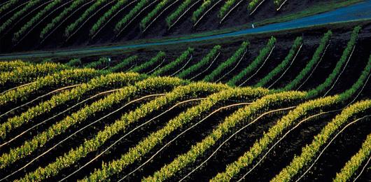 La génétique et la vigne, un assemblage prometteur