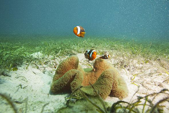 Ces poissons-clowns (Amphiprion polymnus) vivent autour d'une anémone (Stichodactyla haddoni). Les deux partenaires sortent gagnants de cette cohabitation. © SerrNovik / iStockphoto.com