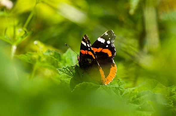 Vulcain. Migrateur, Vanessa atalanta est une espèce qui apprécie les cimetières. © Gary West - Fotolia.com