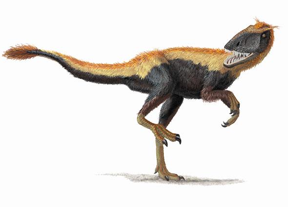 Dilong paradoxus Membre des Tyrannosauroidea découvert en Chine, ce petit dinosaure possédait des plumes simples. Il a vécu il y a environ 130 millions d'années. © Portia Sloan Rollings/National Geographic Creative