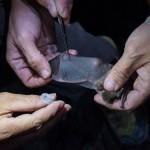 Les biologistes prélèvent des parasites (mouches et acariens) vivant dans le pelage et sur les ailes des chauves-souris. Photo F. Ducrest © UNIL