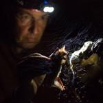 Les chauves-souris ouvrent la bouche pour émettre des ultrasons et se repérer dans l'espace. Photo F. Ducrest © UNIL