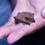 34 pipistrelles communes sont capturées dans la soirée. Elle pèsent env. 5 grammes, soit à peine plus qu'une pièce de 1franc. Photo F. Ducrest © UNIL