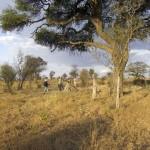 Les chercheurs sillonnent les alentours du centre de recherche pour comprendre de quelle manière les termites façonnent le paysage botswanais. Photo Olivier Glaizot
