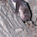 Un molosse africain attrapé, étudié puis relâché par les biologistes. Son cousin, le molosse de Cestoni, est la plus grande chauve-souris présente en Suisse et peut atteindre 40 cm d'envergure. Photo Philippe Christe