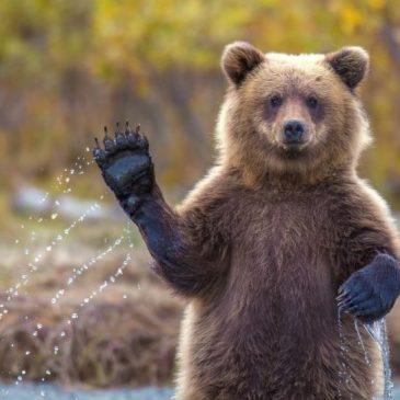 Les ours de Berne se sont échappés… et ils se dirigent vers Lausanne!