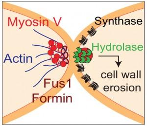 actin fusion focus