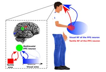Brain Representations Of Social >> Myspace Lab Headed By Prof Andrea Serino